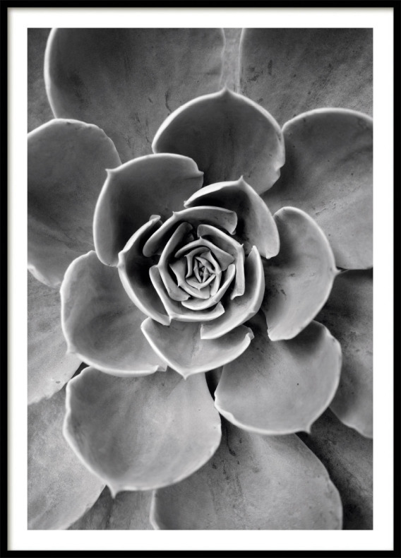 Cactus Flower Poster Bw