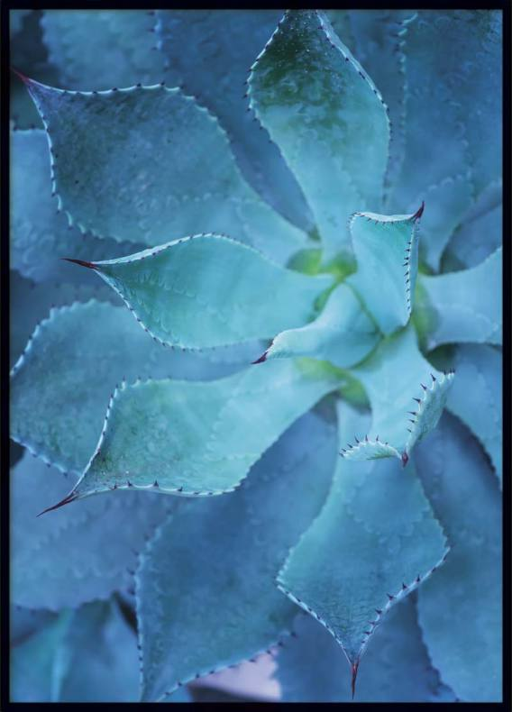 Blue Agave, Poster