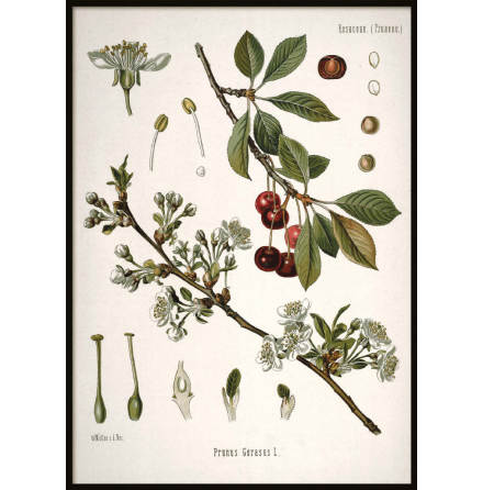 Vintage Cherry, Poster