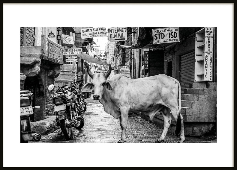 Poster, Indian Cow